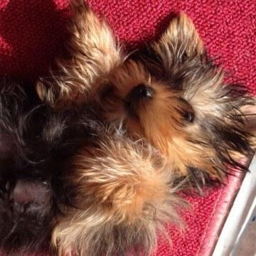 Thumbnail for Vitus - vores hund - en ulv i fåreklæder
